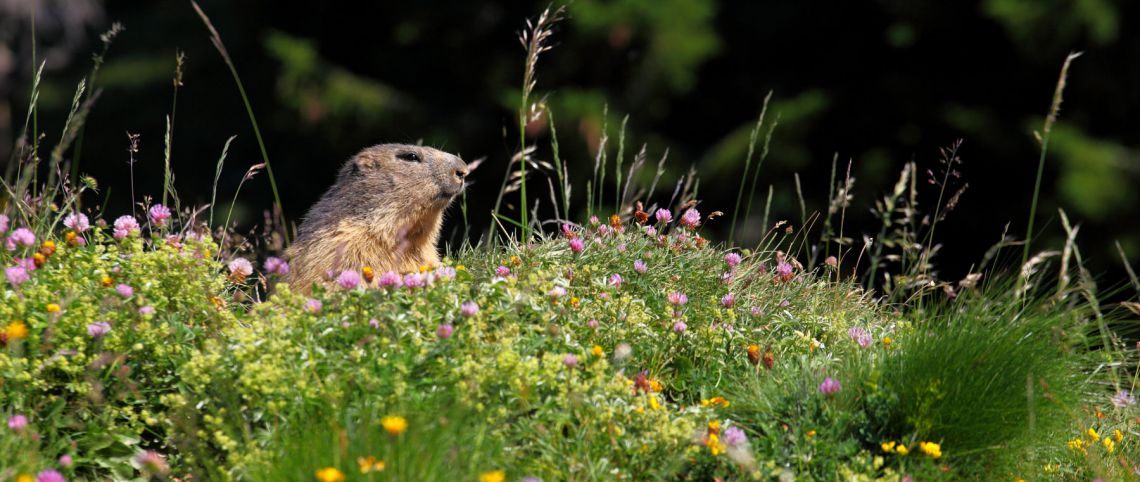 Where can you see marmots this summer in France?