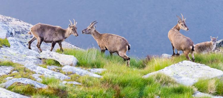 Mieux connaître les animaux de montagne