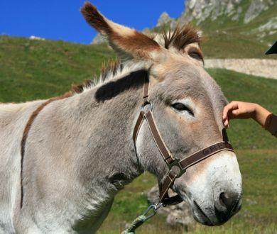 Ludieke wandelingen met ezels en lama's