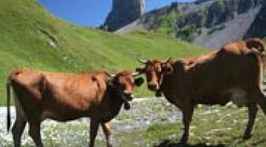 De bergen in de zomer: het kaasmaken